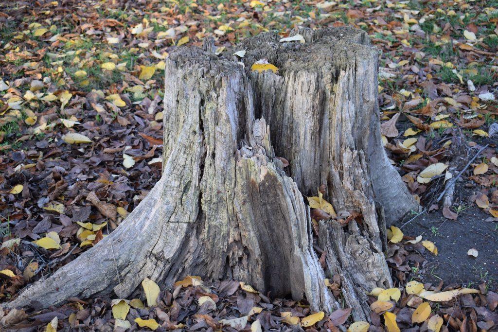 En gammal stubbe i en trädgård